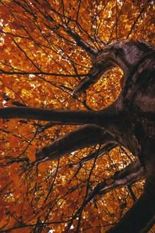 大银杏树俯拍图片素材