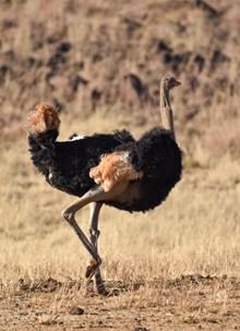 非洲黑颈鸵鸟图片