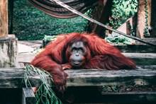 红毛猩猩图片素材