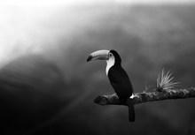 黑白巨嘴鸟精美图片