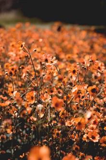 橙色花朵花丛 橙色花朵花丛大全高清图片