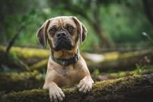 可爱哈巴小猎犬高清图片