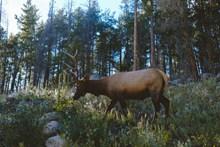 野生北欧驯鹿图片