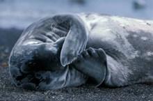 可爱灰色海豹 可爱灰色海豹大全图片大全