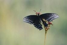 黑色大蝴蝶高清图