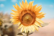 唯美向日葵花盤微距攝影圖片素材