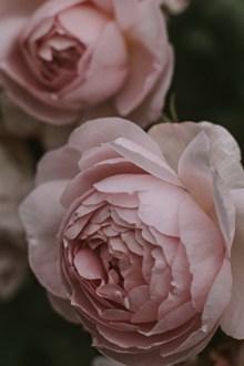 好看唯美粉色牡丹花精美圖片