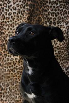 全身黑色狗狗 全身黑色狗狗大全高清图