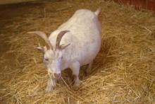 农场白色山羊精美图片