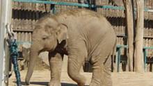 行走的非洲象高清图