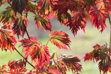 秋天红树叶摄影图片大全