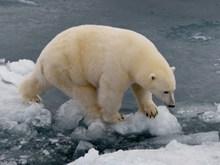 北极白熊高清图