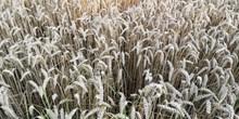 小麦成熟麦穗高清图