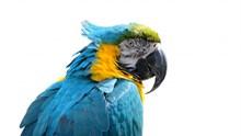 蓝色鹦鹉头部图片