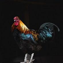 漂亮的大公鸡图片大全