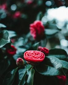 唯美红色茶花花朵图片素材