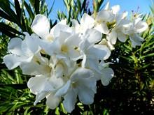 白色夹竹桃花朵图片素材
