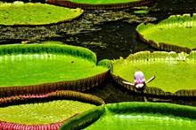 池塘睡莲叶图片下载