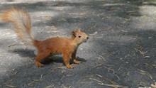 大尾巴棕色松鼠精美图片