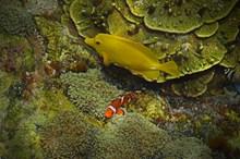 漂亮黄色小鱼高清图
