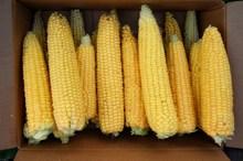 黄色鲜嫩玉米图片