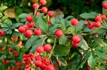 紅色野果子圖片素材
