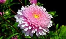 粉色翠菊鲜花高清图