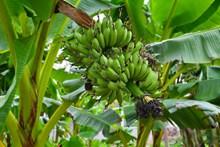 香蕉林绿色香蕉高清图片