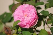 粉红玫瑰花朵绽放图片大全