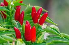 新鲜红色朝天椒高清图