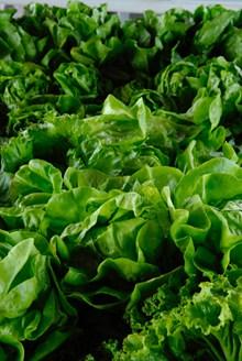 翠绿新鲜生菜高清图