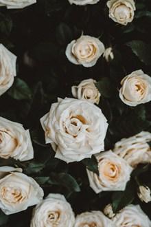 白色玫瑰花高清素材图片下载