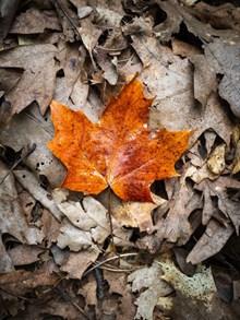 秋季枫叶落叶风景图片下载