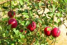 枝頭成熟紅蘋果高清圖