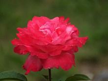 红玫瑰花朵灿烂图片大全