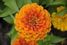 橙色百日草花朵圖片大全