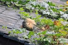 屋頂上的南瓜圖片大全