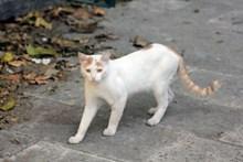 白色野貓高清圖片