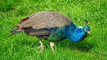 孔雀覓食精美圖片