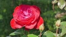紅玫瑰花朵高清攝影高清圖片
