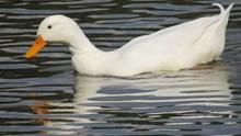 白色鸭子浮水高清图
