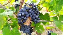 黑色葡萄水果成熟图片大全