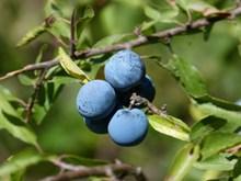 蓝莓浆果摄影精美图片
