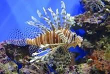 深海条纹观赏鱼高清图