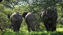 非洲丛林野生大象高清图片