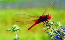 漂亮红蜻蜓休息精美图片