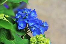 蓝色绣球花小花朵图片素材
