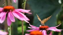 松果菊花朵摄影精美图片