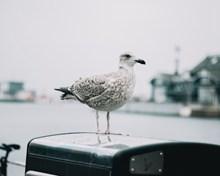 安靜的海鷗高清圖