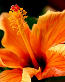 金桔色朱槿花精美图片